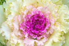 Mooie sierkool in het landschapsontwerp Stock Foto's