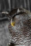 Mooie slaap grote uil met gele bek stock afbeeldingen