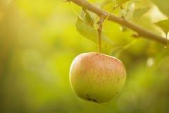 Mooie smakelijke verse appelen bij boom het Stemmen stock afbeelding