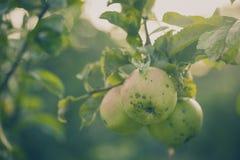 Mooie smakelijke verse appelen bij boom het Stemmen stock foto