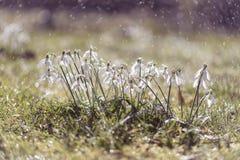 Mooie sneeuwklokjes in het fonkelen dalingen van zachte regen Stock Afbeeldingen