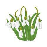 Mooie sneeuwklokjes met groene bladeren Geïsoleerdj op witte achtergrond Vector illustratie Royalty-vrije Stock Foto
