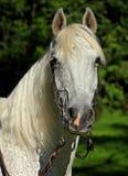 Mooie Spaanse hengst Royalty-vrije Stock Foto's