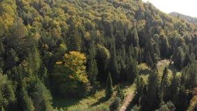Mooie spar met dichte groene takken in de Karpaten in de zomer stock video