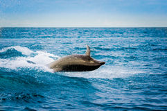 Mooie speelse dolfijn die in de oceaan springen Royalty-vrije Stock Fotografie