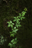 Mooie Spruit van wilde Druiven die op de Boom, Bos beklimmen abst Stock Foto's