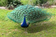 Mooie staart van een pauw Royalty-vrije Stock Afbeelding