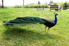 Mooie staart van een pauw Royalty-vrije Stock Fotografie