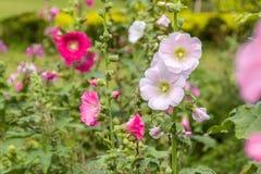 Mooie Stokroosbloemen in tuin Royalty-vrije Stock Afbeelding