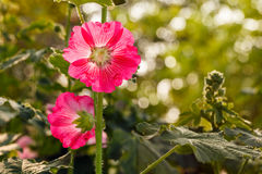 Mooie stokrozen (Alcea-rosea) stock foto