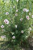Mooie struik met bloemen Royalty-vrije Stock Fotografie