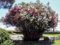 Mooie struik met witte en rode bloemen dichtbij de fontein royalty-vrije stock fotografie