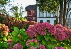 Mooie struik van hydrangea hortensiabloemen stock foto