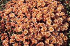 Mooie struik van oranje chrysanten Stock Foto