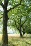 Mooie summertimneeiken in lijn in een gouden weide met lang gras Royalty-vrije Stock Afbeeldingen