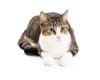 Mooie Tabby Cat Green Eyes Lying Royalty-vrije Stock Foto's