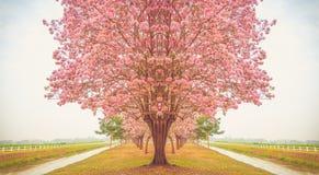 Mooie Tabebuia-roseaboom, roze bloem die in tuin bloeien Royalty-vrije Stock Foto