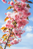 Mooie tak van het tot bloei komen Cherry Blossoms tegen blu Stock Foto's