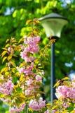 Mooie tak van het tot bloei komen roze Cherry Blossoms in de lente Royalty-vrije Stock Foto