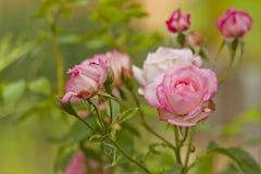 Mooie tak van rozenbloemen Stock Afbeeldingen