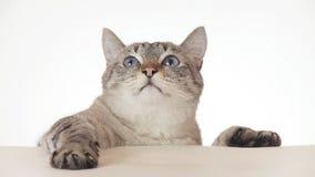 Mooie Thaise kat die rond close-up op witte achtergrond kijken Stock Afbeeldingen