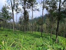Mooie Theeaanplanting Sri Lankan Upcountry royalty-vrije stock foto's