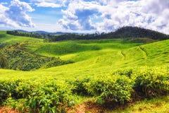Mooie theegebieden in Rwanda stock foto's