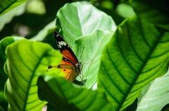 Mooie tijgervlinder in aard Royalty-vrije Stock Foto's