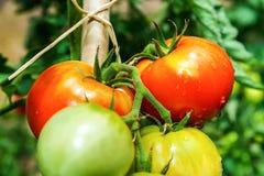 Mooie tomaten in de de zomertuin Royalty-vrije Stock Afbeeldingen
