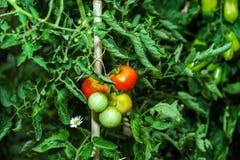 Mooie tomaten in de de zomertuin Stock Fotografie
