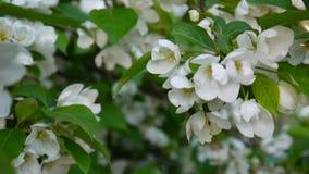 Mooie tot bloei komende appelboom op de windlente in de tuin Statische camera stock footage