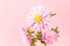 Mooie tot bloei komende chrysanten Stock Afbeeldingen