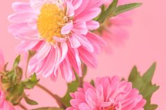 Mooie tot bloei komende chrysanten Stock Afbeelding
