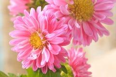 Mooie tot bloei komende chrysanten Stock Fotografie