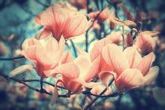 Mooie tot bloei komende magnoliabloemen in sundawn backlit lichte, ondiepe diepte Zachte donkere gestemde wijnoogst De kaartmalpl royalty-vrije stock foto