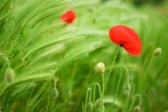 Mooie tot bloei komende papavers en aren stock foto