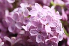 Mooie tot bloei komende sering als achtergrond enkel Geregend stock foto's