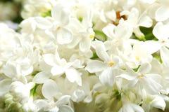 Mooie tot bloei komende sering als achtergrond enkel Geregend royalty-vrije stock fotografie