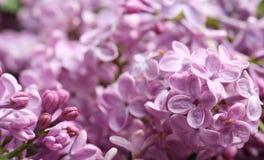 Mooie tot bloei komende sering als achtergrond enkel Geregend stock afbeelding