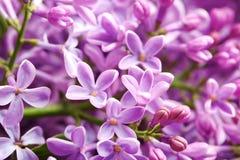 Mooie tot bloei komende sering als achtergrond enkel Geregend stock foto