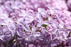 Mooie tot bloei komende sering als achtergrond enkel Geregend royalty-vrije stock afbeelding