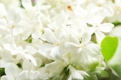 Mooie tot bloei komende sering als achtergrond enkel Geregend royalty-vrije stock foto