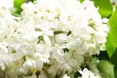 Mooie tot bloei komende sering als achtergrond enkel Geregend stock fotografie