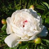 Mooie tot bloei komende witte pioen met drie knoppen royalty-vrije stock afbeelding