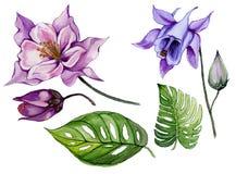 Mooie tropische bloemenreeks purpere en blauwe aquilegia, knop en bladeren Kleurrijke geïsoleerde akeleibloem en groene bladeren Stock Fotografie