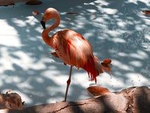 Mooie Tropische Flamingovogel royalty-vrije stock afbeelding