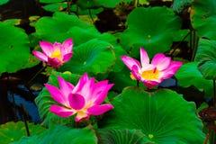 Mooie tropische kleurrijke bloem in regenwoudwildernis in Oost-Azië royalty-vrije stock foto