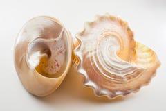 Mooie tropische niloti van overzeese shells witte parelachtige Trochus Tectus Royalty-vrije Stock Foto