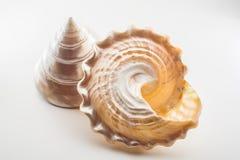 Mooie tropische niloti van overzeese shells witte parelachtige Trochus Tectus Royalty-vrije Stock Foto's