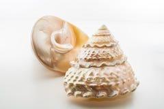 Mooie tropische niloti van overzeese shells witte parelachtige Trochus Tectus Stock Afbeelding